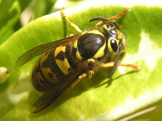 Confirm Sandhills hornet - Vespula pensylvanica - female