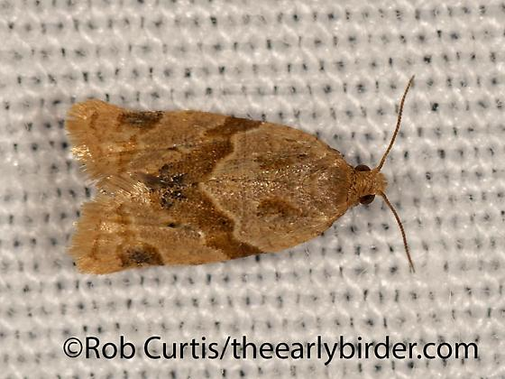 3026058 moth - Clepsis peritana