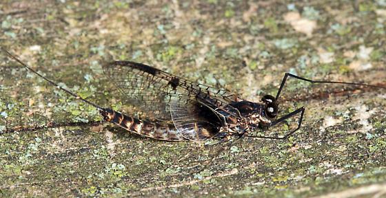 mayfly - Siphloplecton basale