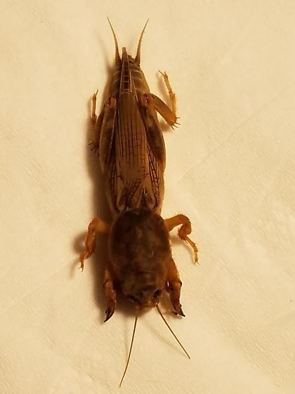 Neoscapteriscus vicinus - female