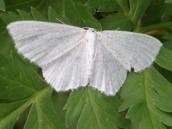 Unidentified Moth - Genus Cabera?