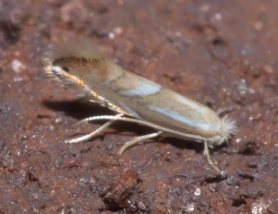 Small tan and white moth - Phyllonorycter