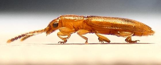 Cryptamorpha desjardinsii