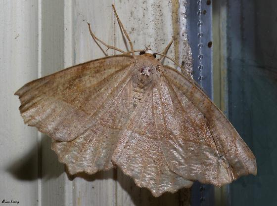Curved-tooth Geometer - Eutrapela clemataria
