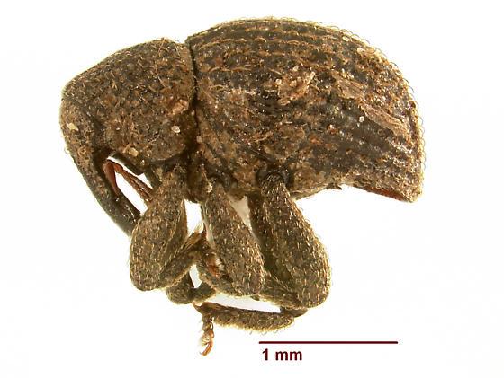 Eurhoptus new species - Eurhoptus