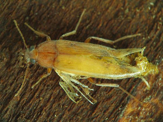 Synchroidae - Synchroa punctata