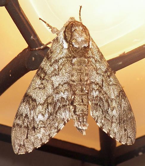Moth 061517bar - Ceratomia undulosa