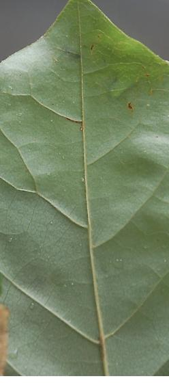 Lake Crabtree leaf miner maybe on Asimina triloba D1067 2018 5 - Talponia plummeriana