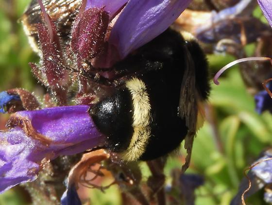 Bumble bees on Penstemon - Bombus