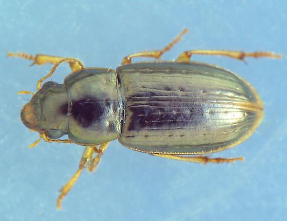 deep punctured carabid - Selenophorus palliatus