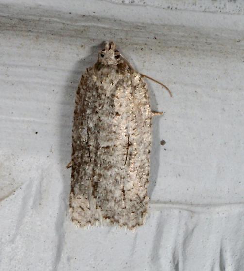 moth02 110511 - Acleris