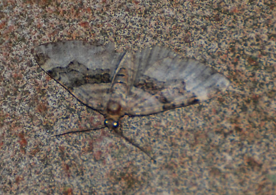Xanthorhoe lacustrata - Toothed Brown Carpet - Hodges#7390?