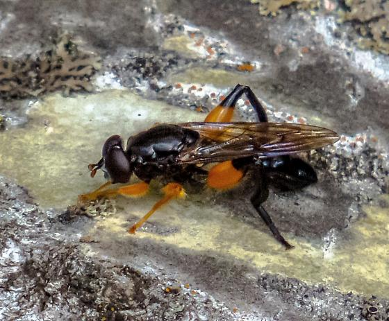large black fly with orange bands on legs - Chalcosyrphus curvarius