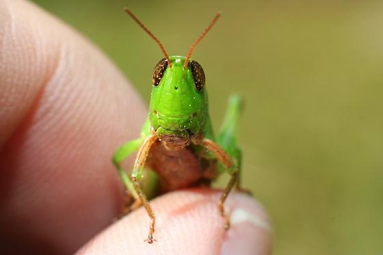 Short Horned Grasshopper - Dichromorpha viridis - female