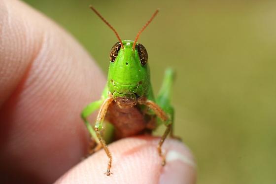 Short Horned Grasshopper - Dichromorpha viridis - female