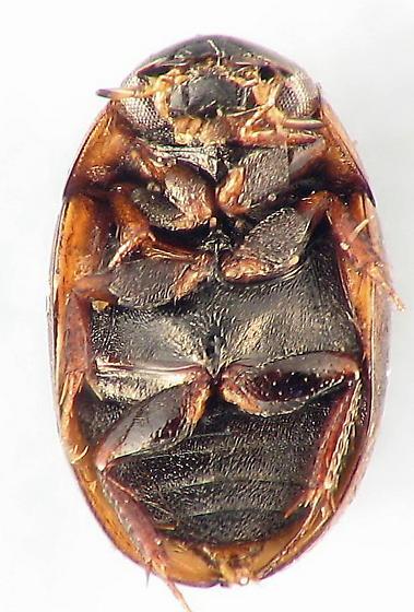 Hydrophilidae? - Paracymus subcupreus