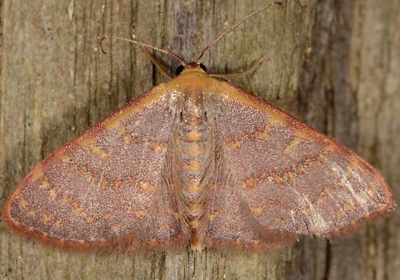 Leptostales crossii - Cross's Wave Moth - Leptostales crossii