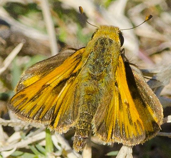 Closest thing is a Grass Skipper in my book? - Hylephila phyleus