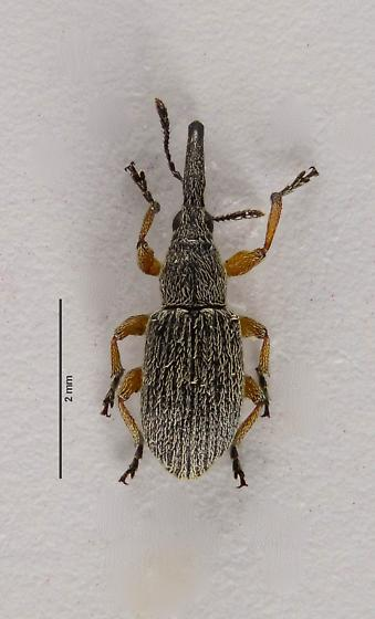 Seed Weevil of sorts? - Rhopalapion longirostre