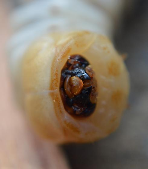 Larvae of one of the Longhorn Beetles?