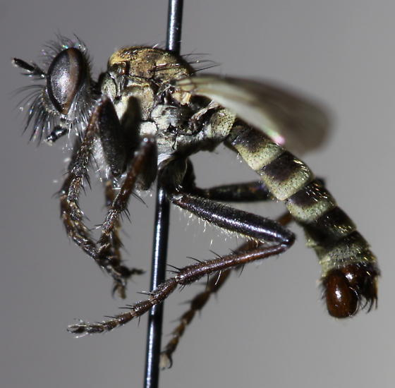 Lasiopogon fumipennis - male