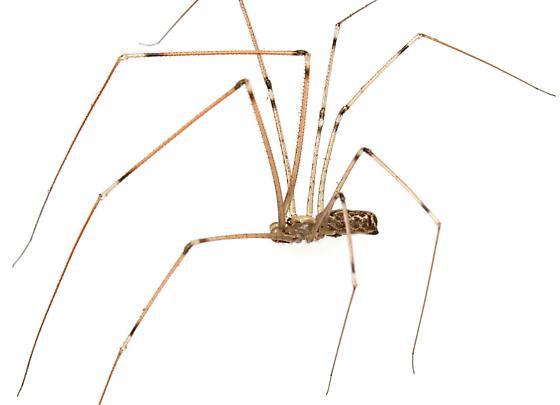 Marbled Cellar Spider? - Holocnemus pluchei - male