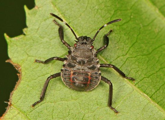 True Bug nymph - Halyomorpha halys