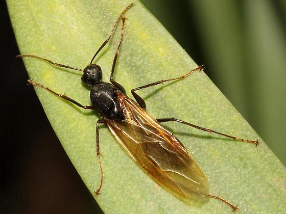 winged ant - Camponotus