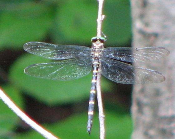 Dragonfly near Peninsula OH - Cordulegaster erronea