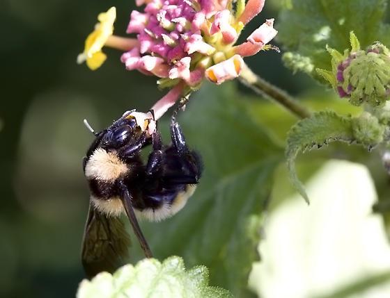 Bumble or Carpenter Bee? - Bombus sonorus