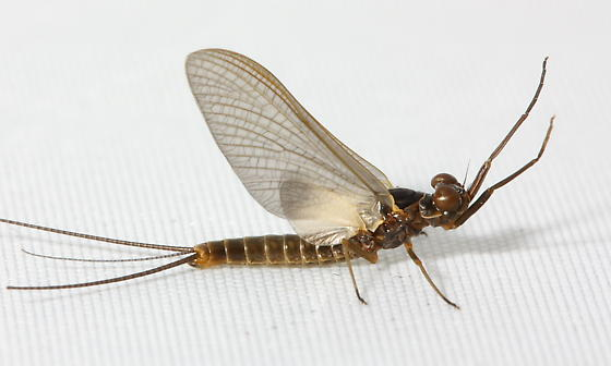 Pronggilled Mayfly - Leptophlebia nebulosa - male