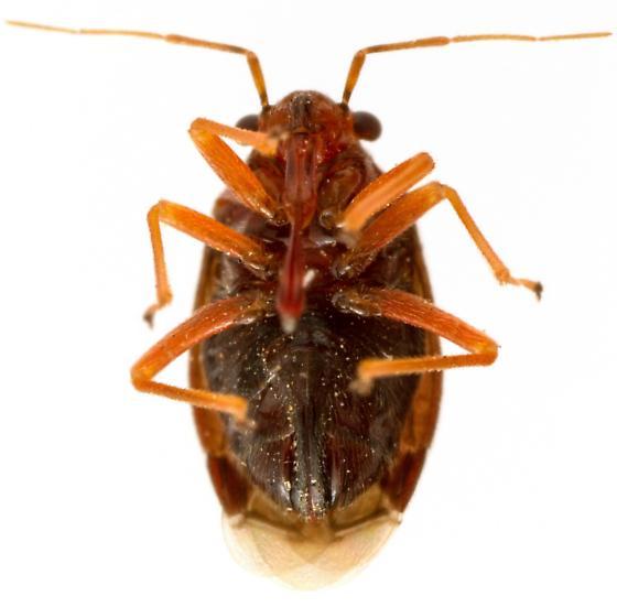 Female, Halticotoma valida (Yucca Plant Bug) - Halticotoma - female