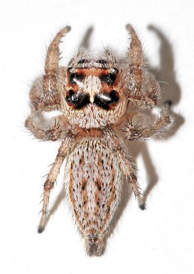 Likely T. hespera - dorsal - Colonus hesperus - female