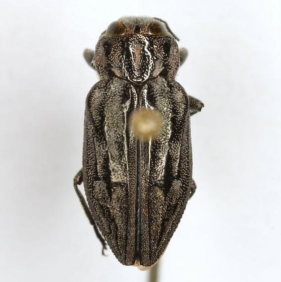 Chrysobothris quadrilineata LeConte - Chrysobothris quadrilineata