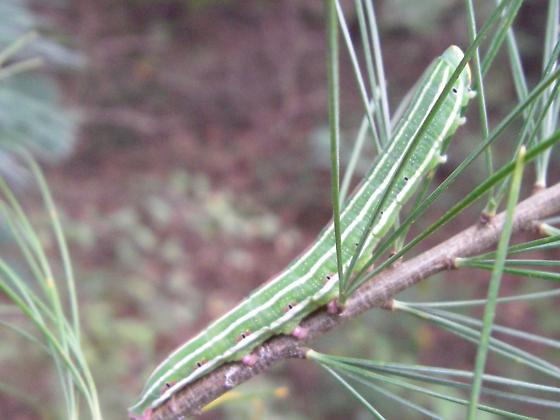 Northern Pine Sphinx Larvae - Lapara bombycoides