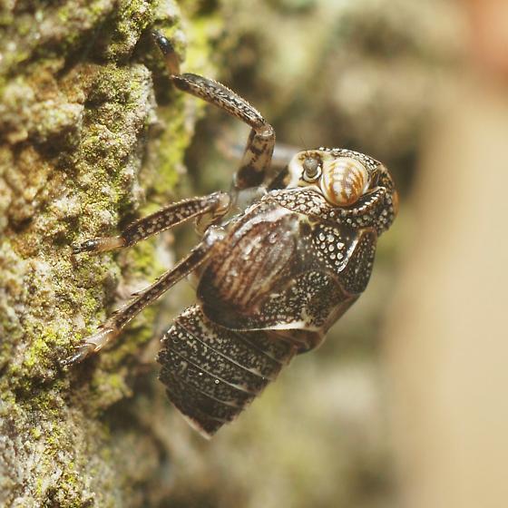 Hysteropterum punctiferum Nymph - Exortus punctiferus