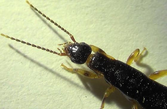 Ring-legged Earwig (dorsal head) - Euborellia annulipes - male