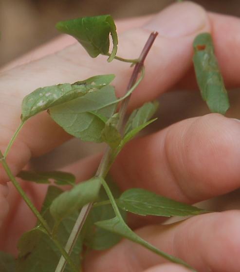 Pond Drive leaf tier on Scutellaria lateriflora D2649 2020 1.1