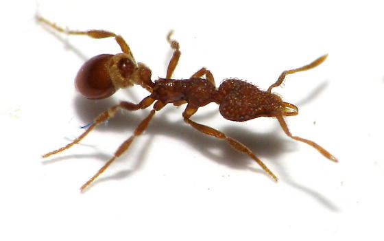 WORKER Long Jawed Mini Trap-jaw Ant - Strumigenys pergandei