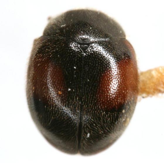 Scymnus circumspectus Horn - Scymnus circumspectus