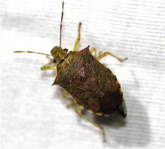 Podisus maculiventris - female