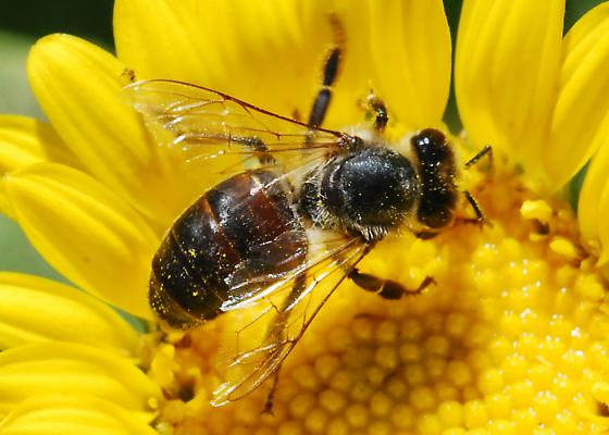 Late blooming winter bee? No, just a honey bee from The Dark Side - Apis mellifera - female