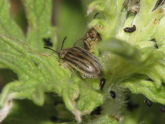 ? Leaf Beetles ? - Ophraella californiana