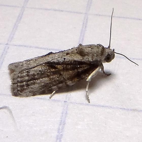 Black-olive Caterpillar Moth - Hodges#8974 (Garella nilotica) ? - Garella nilotica