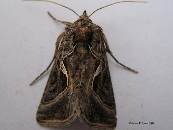 silver whip moth - Autographa flagellum