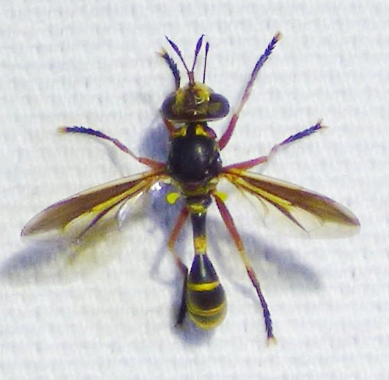 unknown insect - Physoconops excisus