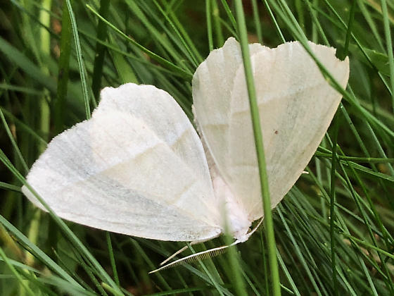 Pale Beauty? - Campaea perlata