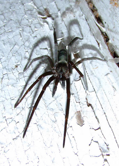 HUGE Irridescent Black Spider - Kukulcania hibernalis - female
