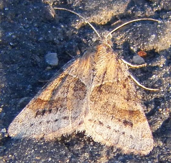 Unknown Looper 032316 - Caenurgina crassiuscula