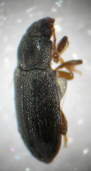 (somthing) Fungus beetle? - Telmatophilus typhae